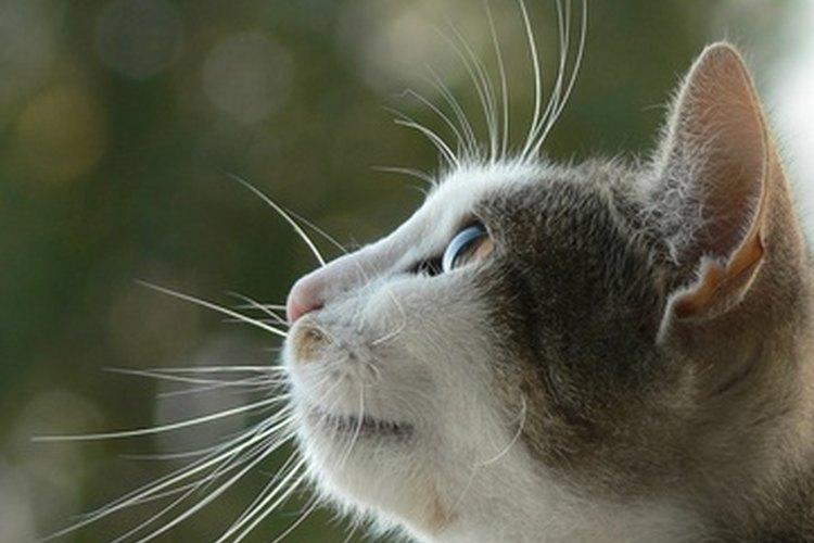 Si tu gato se te acerca repetidamente y te da vuelta la cara con su cola erguida, su lenguaje corporal sugiere que quiere hacerse notar.