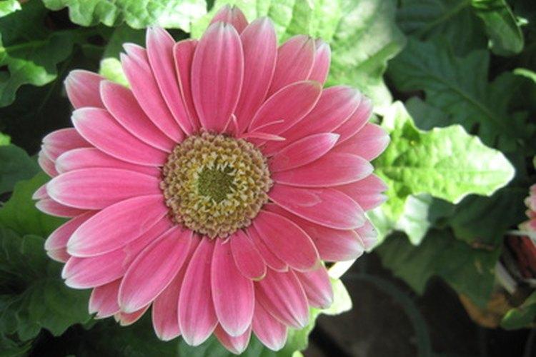 El significado de las margaritas Gerbera de color rosa