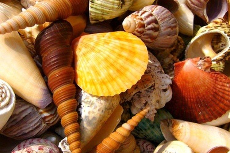 Los amantes del océano disfrutan de colectar diversos tipos de conchas.