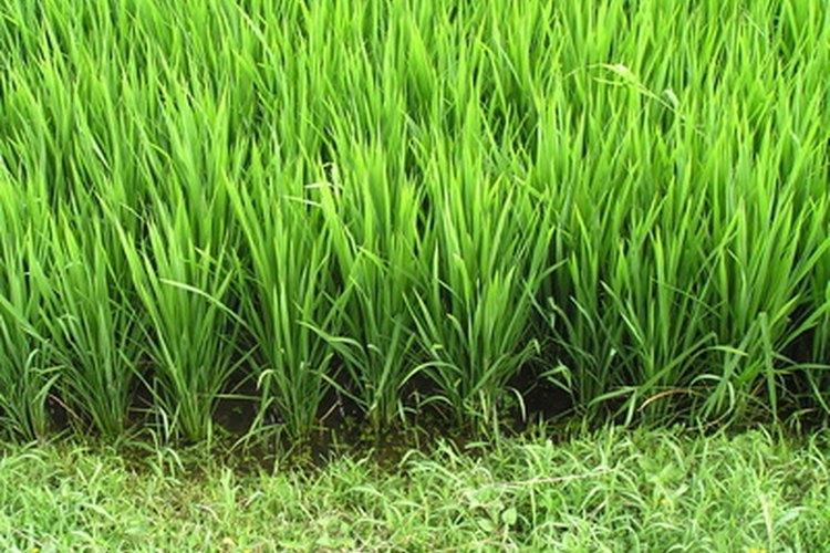 Hojas verdes de arroz.