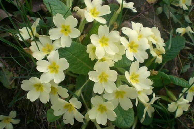 La onagra inglesa le agrega a un jardín encantado en miniatura una apariencia tradicional.