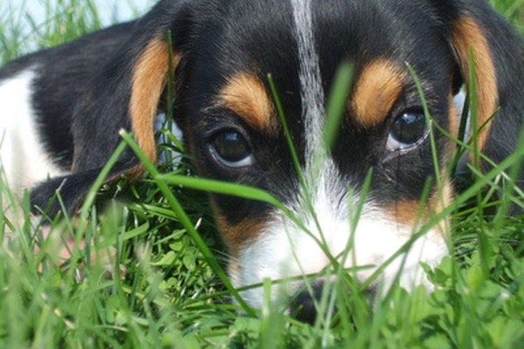Los cachorros y los perros con sistemas inmunes comprometidos son susceptibles a la tiña.