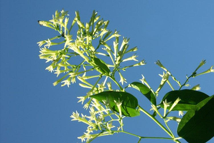 Las flores de jazmín crecen en racimos que se abren después del anochecer.