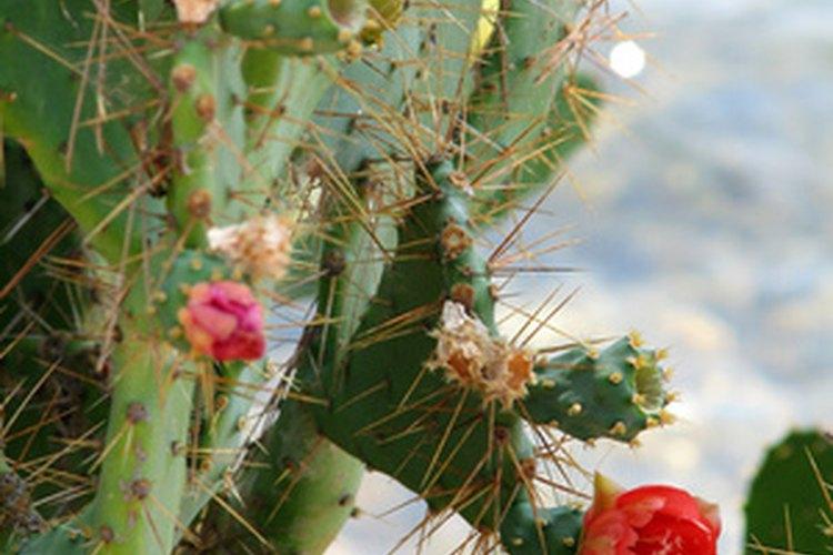 """La Opuntia fidicus tiene un fruto conocido como """"higo chumbo""""."""