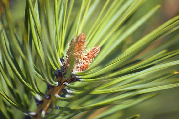 Los pinos conservan sus hojas en forma de agujas a lo largo de todo el año.