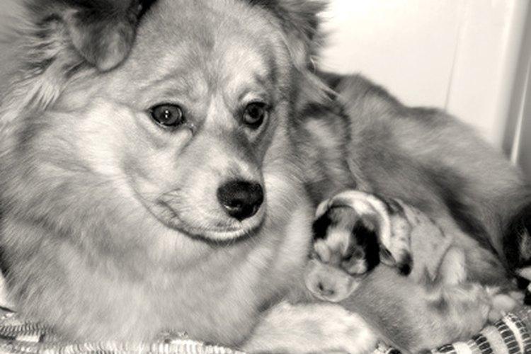 Las contracciones de una perra embarazada pueden continuar durante varias horas.