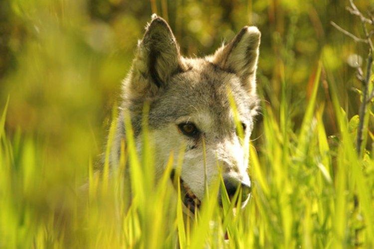 ¿Cómo se comunican los lobos?