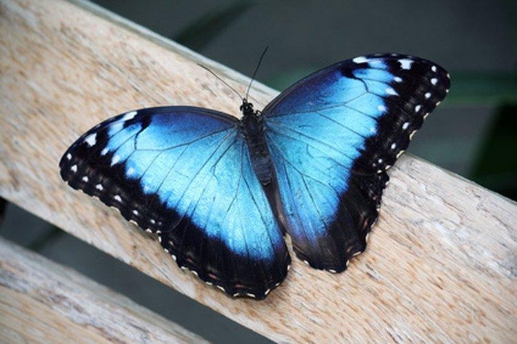 Las mariposas a menudo tienen significados especiales: Una mariposa azul a menudo significa cambio y alegría.