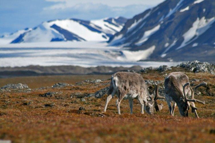 El reno y el caribú son solo ciervos donde el macho, la hembra y la cría producen cuernos.