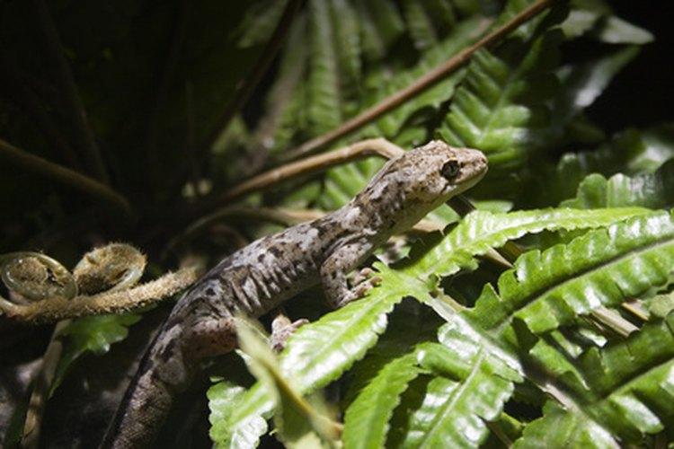 Las lagartijas pueden ser de una gran variedad de colores.