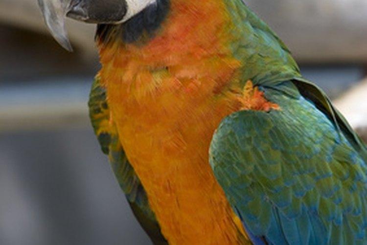 Las plumas de los loros deben ser brillantes y suaves a menos que las esté cambiando.