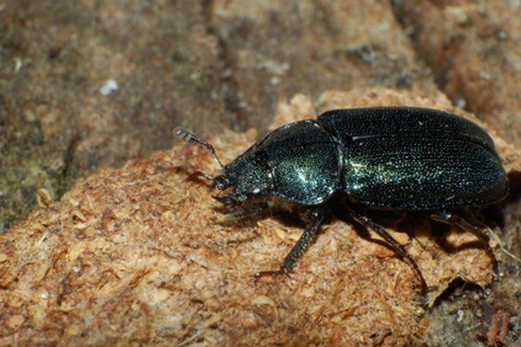 Escarabajo rinoceronte.