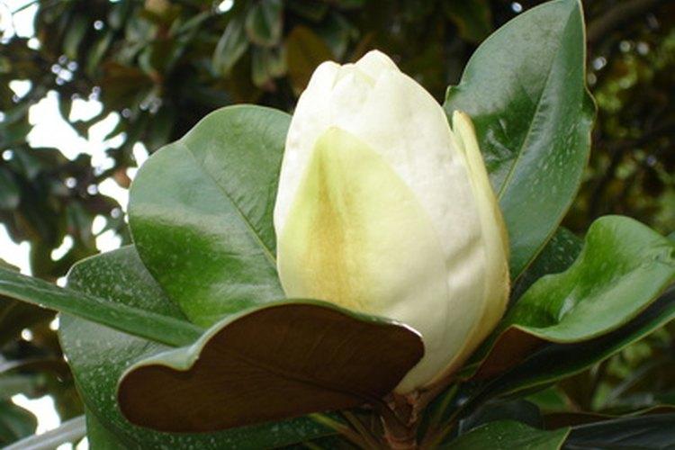Las flores grandes y las hojas correosas son la característica de la magnolia del sur.