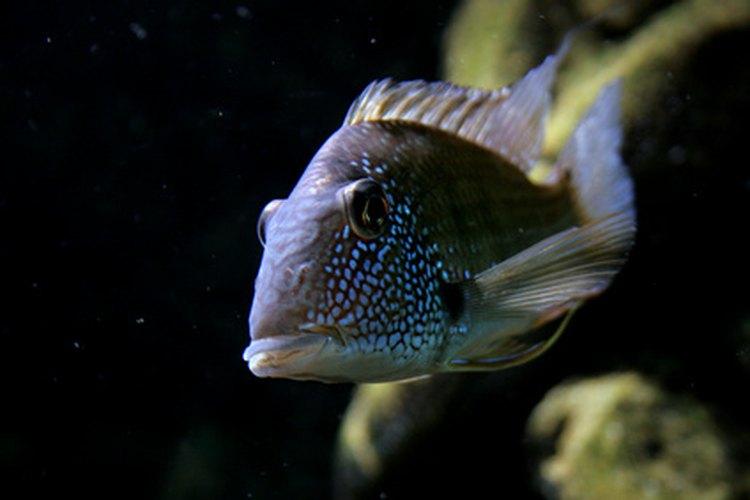 Los cíclidos africanos son populares entre los aficionados a los acuarios y los acuarófilos.