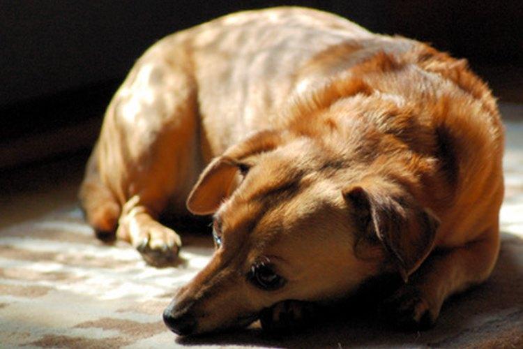 Observar que un perro tiembla mientras duerme puede preocupar a los dueños.
