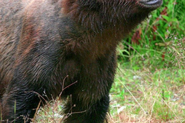 Los osos pardos están dispersos en la zona templada del Hemisferio Norte.