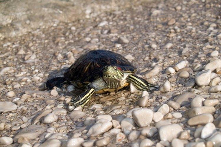 Las tortugas bebés crecen rápidamente y necesitan más espacio.