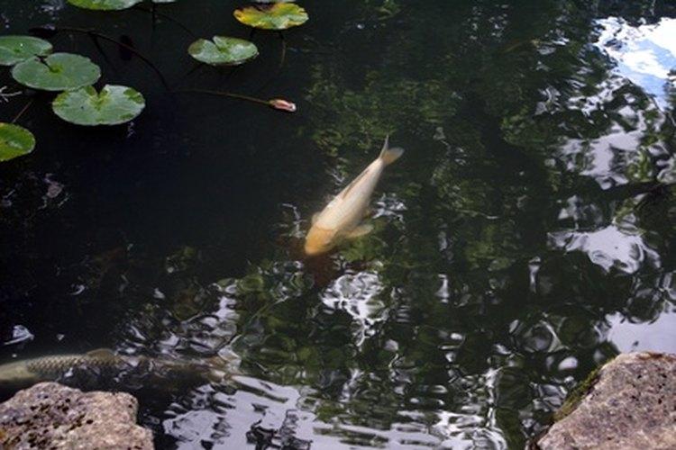 Cómo entran los peces a los estanques nuevos.