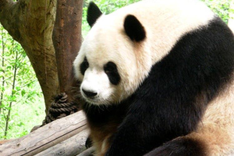 El panda gigante es una especie en peligro de extinción