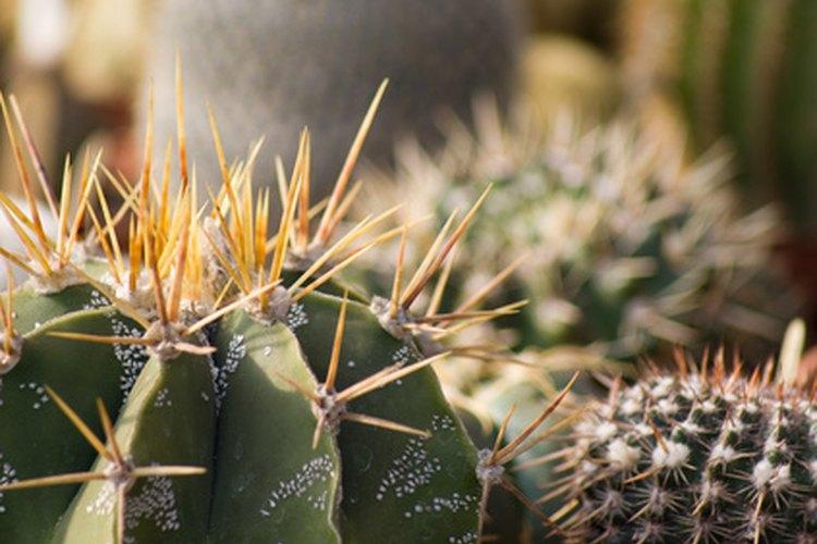 El cactus estrella está en peligro de extinción.