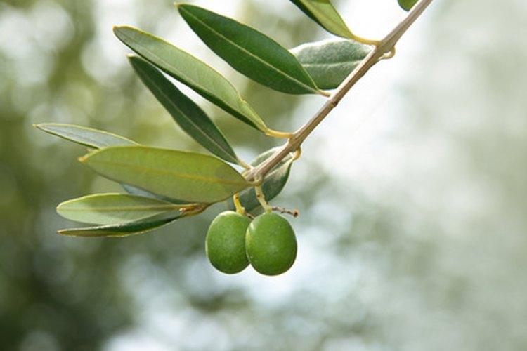 El fruto de nim se parece a las aceitunas y su compuesto insecticida no es dañino para los humanos.