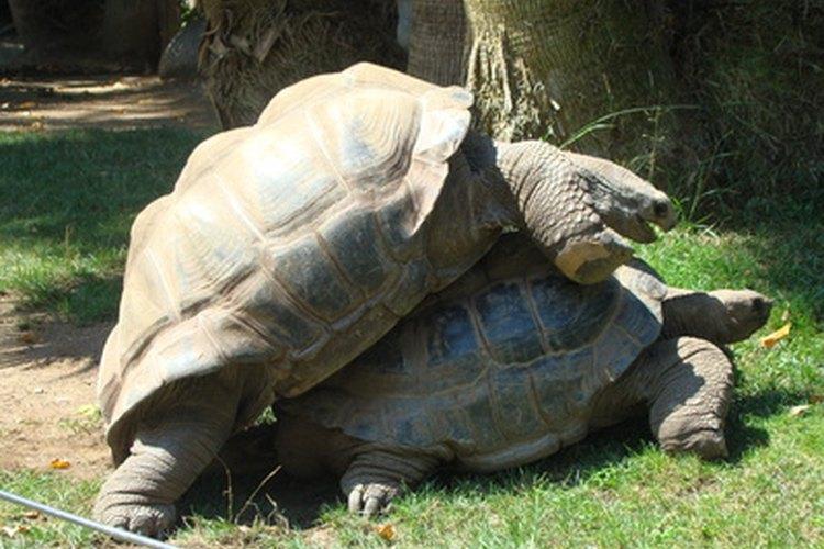 Todas las tortugas, de mar y tierra, con excepción de la tortuga laúd, conciben durante la primavera.
