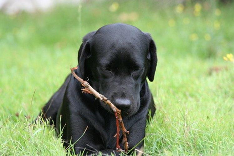 Los cachorros labradores negros suelen morder objetos cuando les están saliendo los dientes.