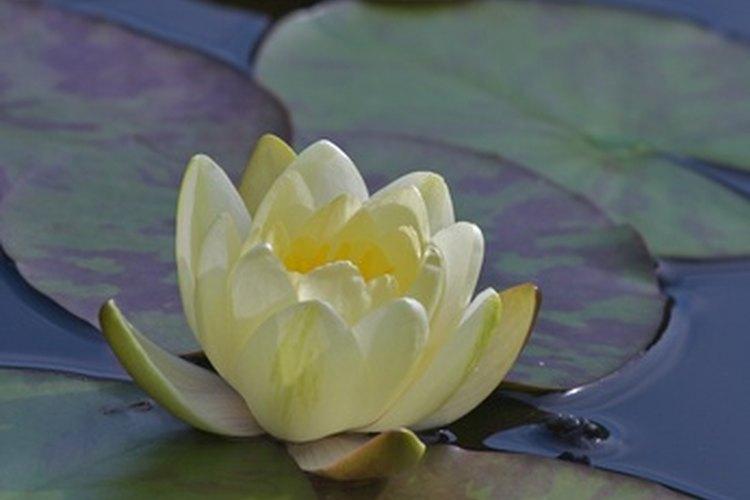Los lirios de agua crecen en una variedad de hábitats y pueden mejorar la calidad de los mismos para la vida silvestre.