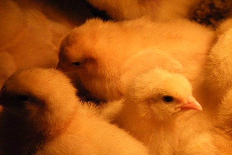 Los polluelos forman lazos especiales con sus dueños.