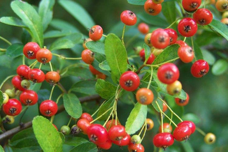 Las bayas rojas agregan un inesperado color a los árboles verdes.