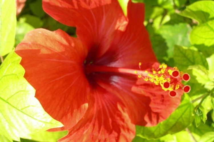 Los hibiscos tropicales son coloridos y exóticos.