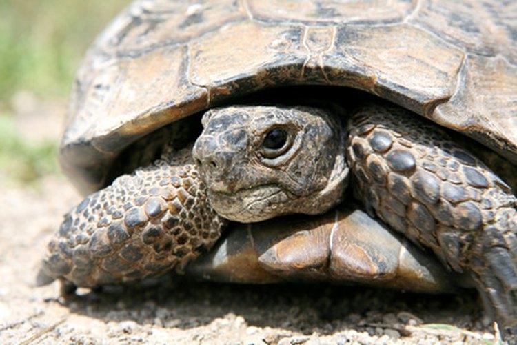 Las tortugas eran a menudo identificadas significados cósmicos.