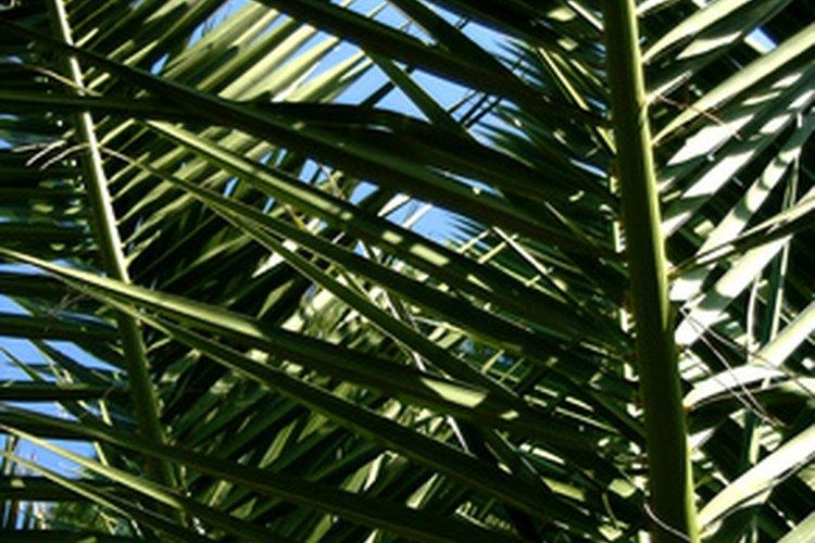 Las palmeras pindó tienen hojas largas y emplumadas.