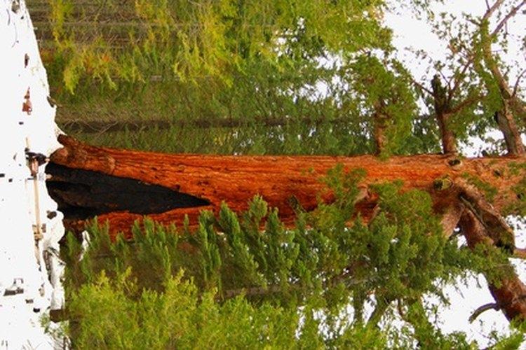 Las secoyas gigantes ya estaban creciendo durante siglos antes de que Colón desembarcara en el Caribe