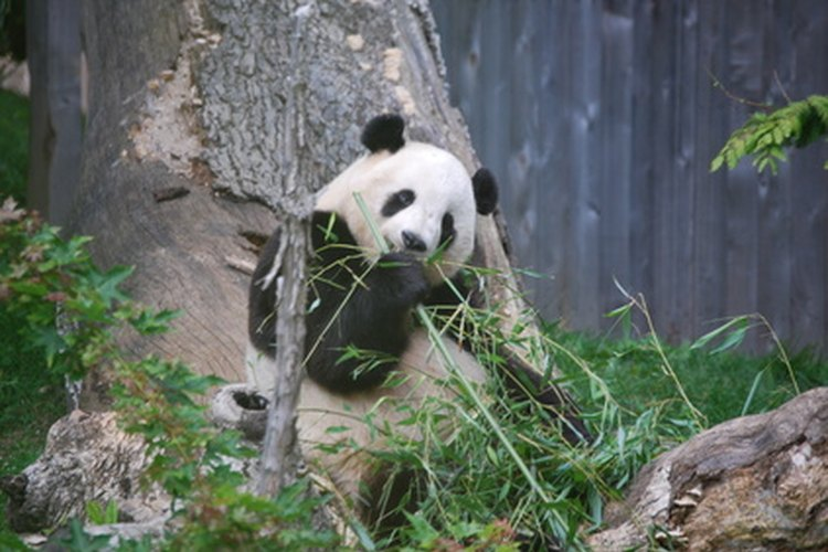 Al principio se pensaba que el oso panda era una especie de mapache.