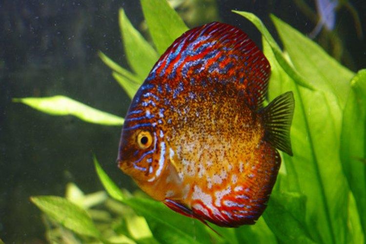 Lista de peces tropicales de agua dulce for Peces tropicales