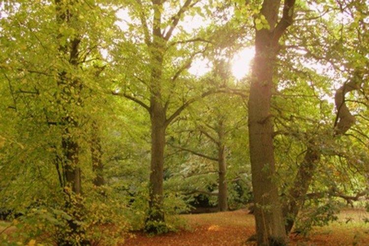 Las hojas crean energía de la luz solar.