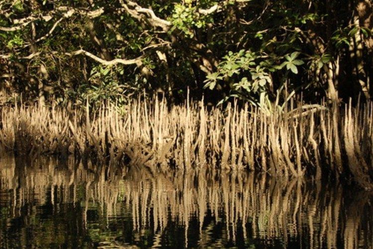 El mangle blanco crece cerca de la costa y en el agua.