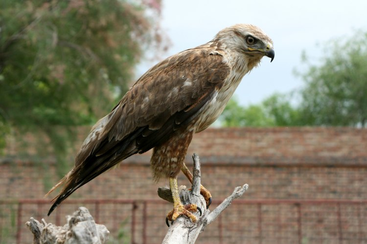 Águila Real en el posadero.