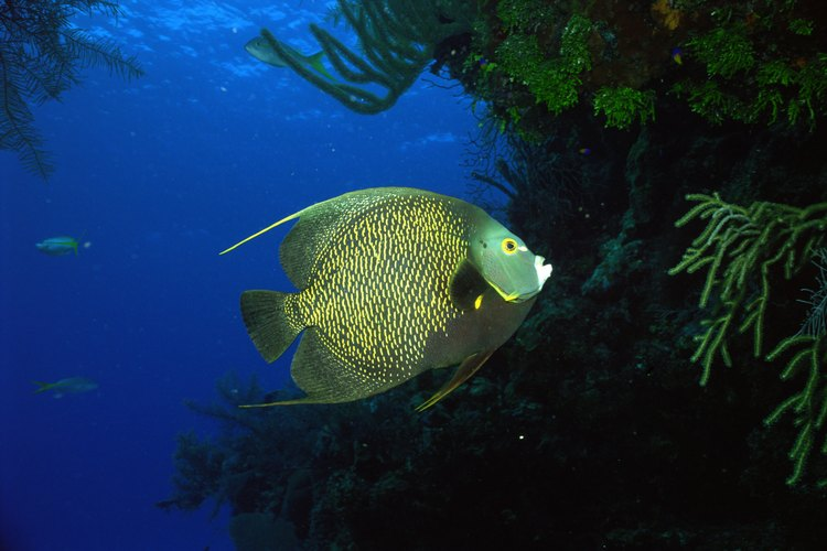 El ángel francés es un pez de agua salada que se encuentra en arrecifes poco profundos en el Atlántico oriental y occidental.
