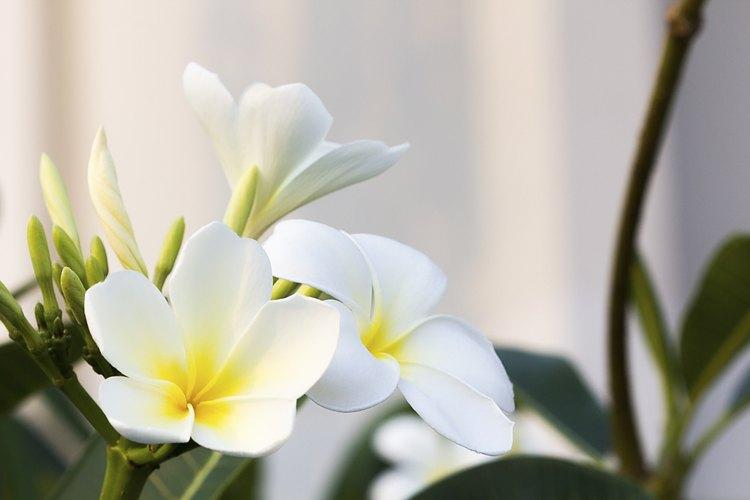 Frangipani blanco.