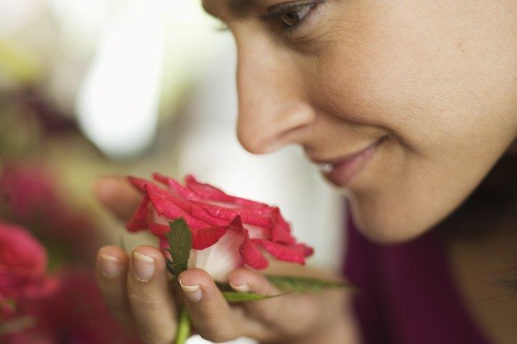 Cada variedad de rosa desprende un olor diferente, dependiendo del aceite que produzcan los pétalos.