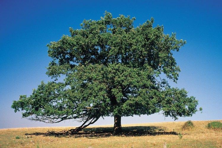 Otras especies comunes de madera dura con la madera dura son el nogal, el roble y el caoba.
