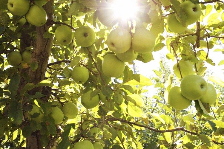 Los manzanos crecen mejor con un pH del suelo entre 5,0 y 7,0.
