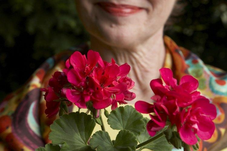 Los geranios tienen flores coloridas todo el verano.