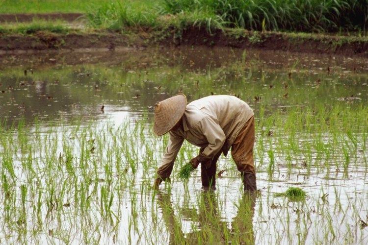 Cultiva arroz transformando un balde en un arrozal en miniatura.
