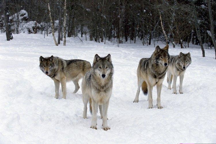 Los lobos brindan lecciones, guía y sanación en muchas historias de los nativos americanos.
