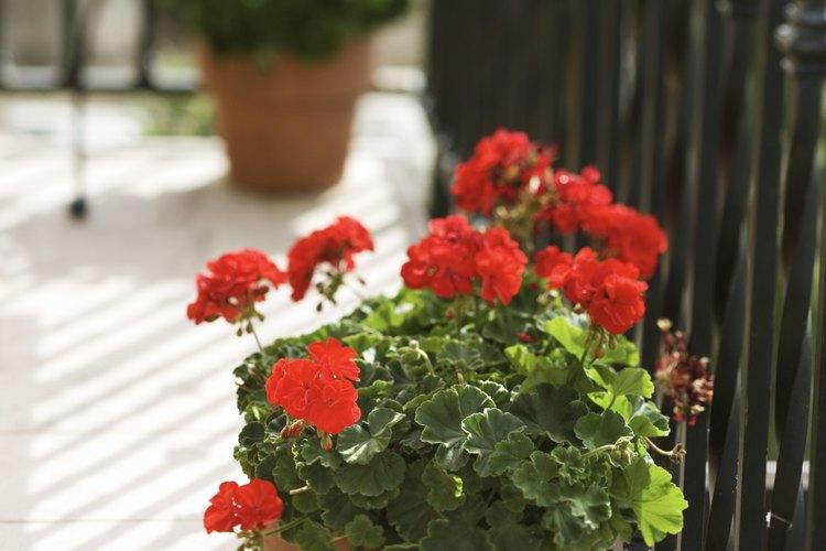El verde proporciona belleza y un poco de privacidad en el balcón.