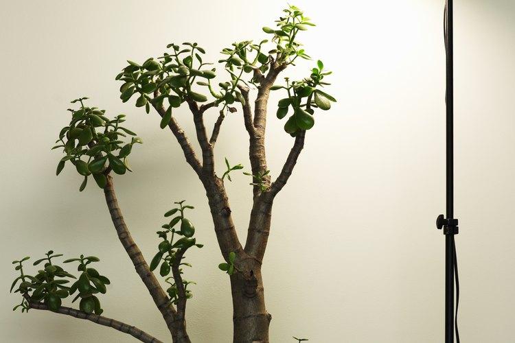 Cualquier esqueje con hojas puede producir una nueva y frondosa planta jade.