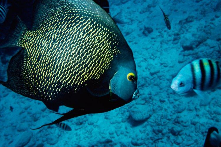El pez ángel francés es uno de los peces ángel de agua salada más comunes para acuario.